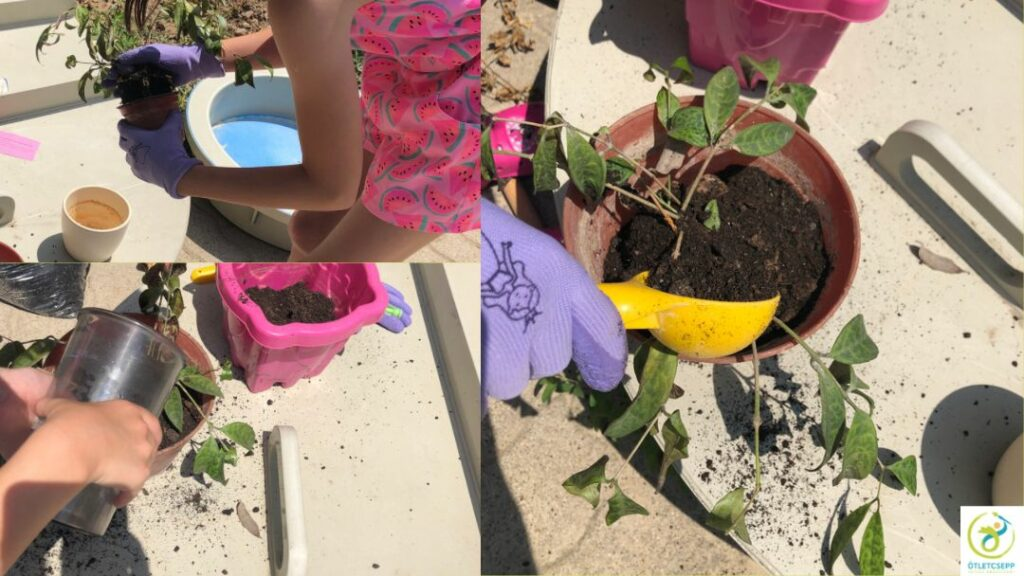 gyerek kezek egy cserepes szobanövényt átültetnek